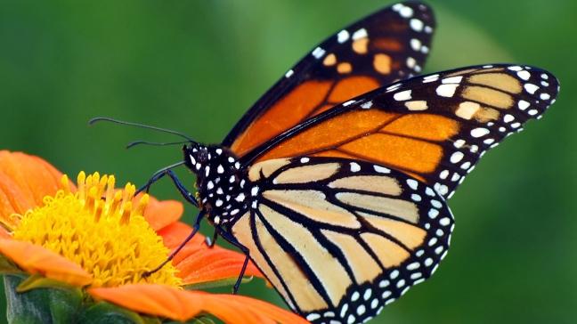 monarch-butterfly-orange-flower